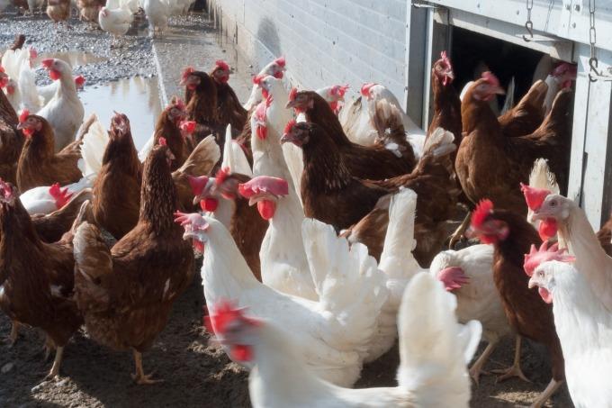 chicken-1230973_1280